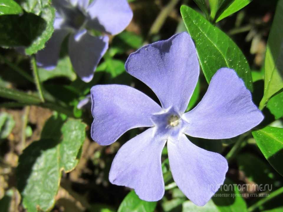 Барвинок малый фото цветов